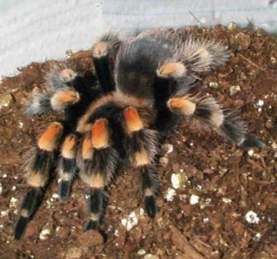 tarantula for sale missouri